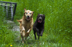 I'm Gonna Win!. Golden and Labrador Retriever running through trail in tall grass. Very happy dogs racing together outside on a sunny day Royalty Free Stock Photos