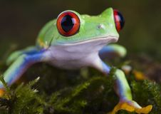 I'm green. Frog - small animal with smooth skin and long legs that are used for jumping. Frogs live in or near water. / The Agalychnis callidryas, commonly know Royalty Free Stock Image