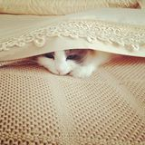 I'm hiding. Ragdoll Cat hiding and playing under bed linen and doona Royalty Free Stock Photo