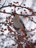 I'm Hungry. This image of the Bohemian Waxwing was taken on a berry bush in western MT Royalty Free Stock Images