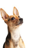 I'm hungry!. Cute doggy (Russian toy terrier) over white Royalty Free Stock Photos