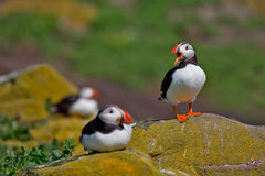 I'm the king of the castle. Atlantic puffin squawking at his fellow birds from a rock on the Farne Islands Stock Photos