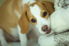 I'm naughty. A happy beagle is playing/biting the dog doll Stock Image