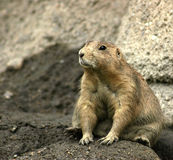 I'm Not Fat, This Is All Fur. A prairie dog sitting on a rock Stock Image