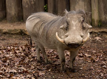 I'm so pretty. Full body image of Warthog standing in fallen leaves Stock Image