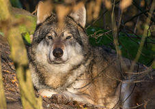 I`m quietly judging you. A wolf in the bushes staring Stock Photos