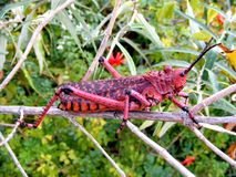I'm a red locust Royalty Free Stock Photos