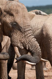 Elephant curling trunk Royalty Free Stock Images