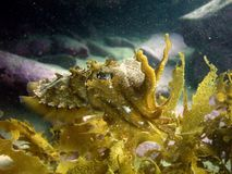 Im a seaweed (cuttlefish) Royalty Free Stock Photography