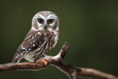I'm Shocked. Closeup of a wide-eyed Northern Saw-Whet Owl Stock Photography