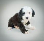 I'm Sorry!. Little Sheepdog looking sad and sorry about something Royalty Free Stock Photo