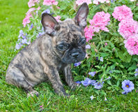 I'm So Sorry!. Very cute French Bulldog puppy that looks very sad and sorry about something, sitting outdoors with flowers around her stock photos