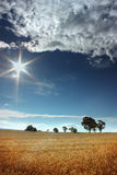 I'm the sun. Gold corn under the warm sun under the clouds Royalty Free Stock Image
