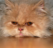I'm Thinking About You Cat. Persian Cat Relaxing stock image