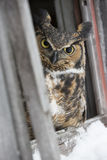 I'm on to you. A great horned owl looking at photographer Royalty Free Stock Photography