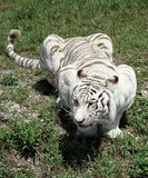 I'm waiting. White tiger laying on the prowl stock images