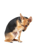 I'm washing. Little dog (toy terrier) is washing Stock Photo