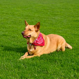 I'm watching you. Golden kelpie mixed breed dog wearing a red bandanna laying on grass as it watches its owner Stock Photography