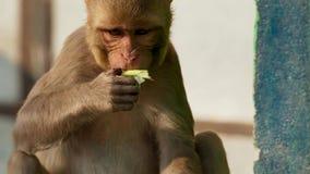 I macachi del reso è entrato nella città ed ha rubato molte cose da umano, Jaipur in India fotografia stock