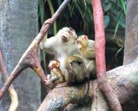 I macachi di granchio-cibo (fascicularis del Macaca) Fotografie Stock