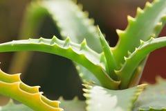 I macro dettagli di aloe verde Vera piantano i rami Fotografia Stock Libera da Diritti