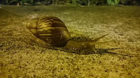 I made it!. 8 out of 10 snails die while attempting to cross a walking path at night Stock Photo
