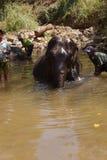 I Mahouts lavano il loro elefante Fotografia Stock Libera da Diritti