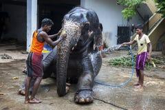 I Mahouts lavano un elefante all'interno del tempio di Kataragama a Kandy fotografia stock libera da diritti