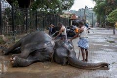 I Mahouts lavano un elefante cerimoniale prima del Esala Perahera a Kandy nello Sri Lanka immagine stock libera da diritti