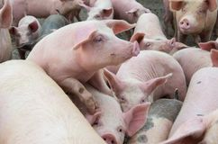 I maiali dell'azienda agricola Allevamento del bestiame Fotografia Stock