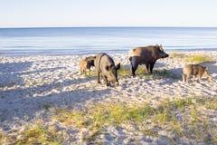 I maiali ed i porcellini selvaggi camminano sulle sabbie della spiaggia del mare Fotografia Stock Libera da Diritti