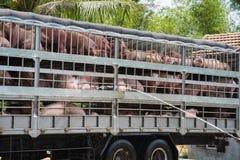 I maiali per alimento in camion stanno avendo bagno per evitare il caldo durante il trasporto sull'autostrada nazionale 1A nella  fotografia stock libera da diritti