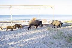 I maiali selvaggi con i porcellini camminano sulle sabbie della spiaggia del mare Fotografia Stock Libera da Diritti