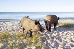 I maiali selvaggi si allontanano sulle sabbie della spiaggia del mare Fotografia Stock