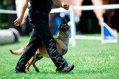 I malinois del cane poliziotto cammina accanto all'uomo della polizia fotografie stock