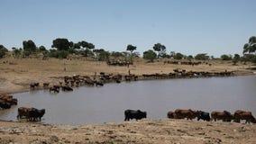 I mandriani di Maasai portano il loro bestiame innaffiare vicino ai masai Mara, Kenia stock footage