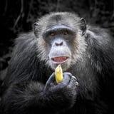 I maschi dello scimpanzè stavano mangiando Fotografia Stock Libera da Diritti