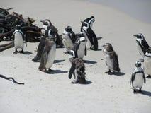 I massi tirano i pinguini in secco mudare fotografie stock