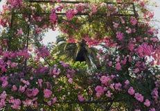 I mazzi delle rose del cespuglio appendono giù Immagini Stock Libere da Diritti