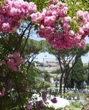 I mazzi delle rose del cespuglio appendono giù Fotografia Stock