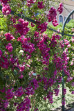 I mazzi delle rose del cespuglio appendono giù Fotografia Stock Libera da Diritti