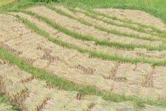 I mazzi di riso raccolto sul terrazzo sistema nel Vietnam del Nord Immagini Stock