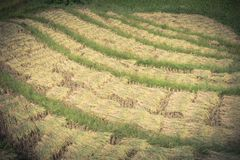 I mazzi di riso raccolto sul terrazzo sistema nel Vietnam del Nord Fotografia Stock Libera da Diritti