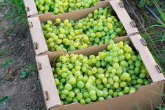 I mazzi di uva verde matura sono piegati nei contenitori quadrati di cartone per trasporto Fotografia Stock