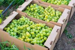 I mazzi di uva verde matura sono piegati nei contenitori quadrati di cartone per trasporto Immagini Stock