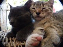 I miei gatti addormentati a casa Fotografia Stock