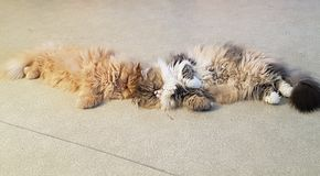 I miei piccoli gatti persiani dolci fotografie stock libere da diritti