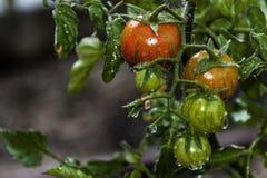 I miei piccoli pomodori ciliegia Frutteto dello studioso fotografie stock libere da diritti