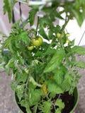 I miei pomodori 2014 Fotografie Stock Libere da Diritti