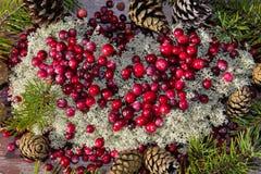 I mirtilli rossi maturi nei precedenti di abete si ramifica Fotografia Stock